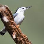 Loudoun Wildlife, PVAS Host Christmas Bird Counts